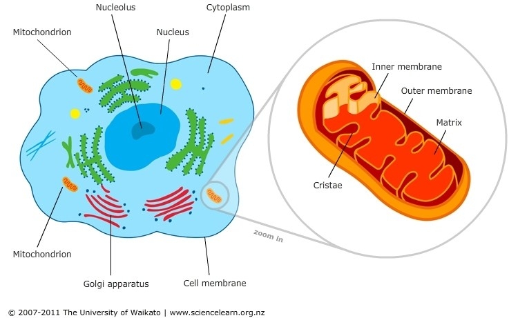 cell-featuring-mitochondria.jpg